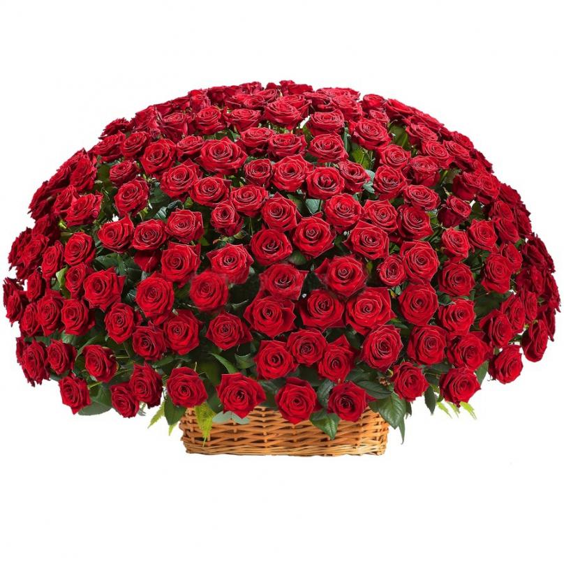 Фото 501 красная роза