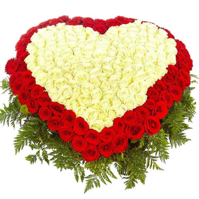 Фото 351 красно-белая роза в форме сердца